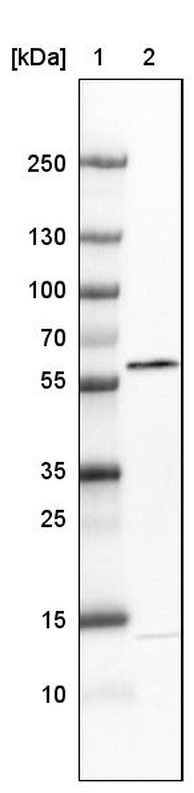 GRASP55 Antibody in Western Blot (WB)