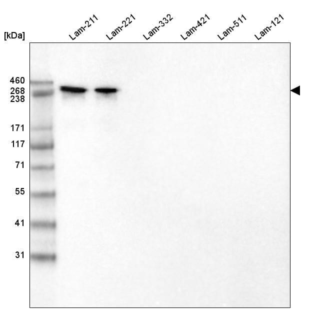 Laminin alpha-2 Antibody in Western Blot (WB)