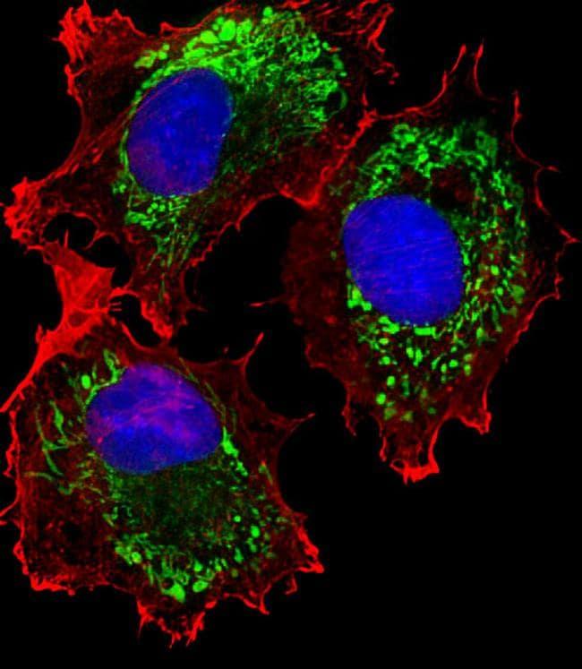ALDH6A1 Antibody in Immunocytochemistry (ICC/IF)