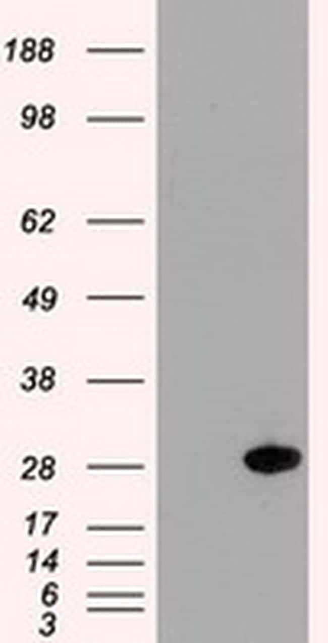 Hex Antibody in Western Blot (WB)