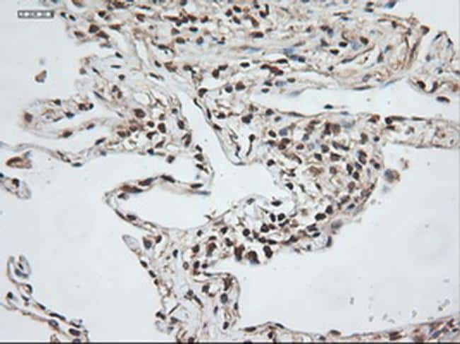 NTF3 Antibody in Immunohistochemistry (Paraffin) (IHC (P))