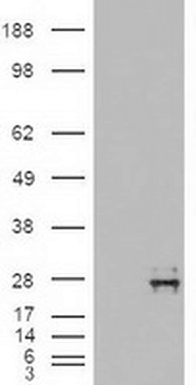 NTF4 Antibody in Western Blot (WB)