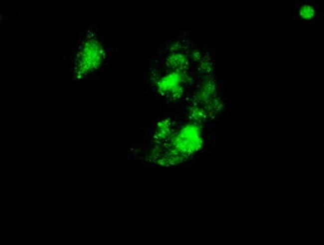 SOX17 Antibody in Immunocytochemistry (ICC)