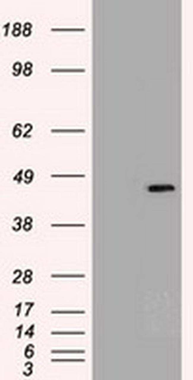 SOX17 Antibody in Western Blot (WB)
