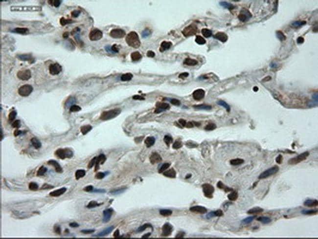 GATA6 Antibody in Immunohistochemistry (Paraffin) (IHC (P))