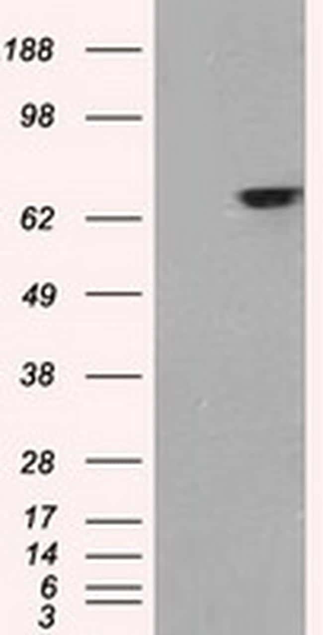 GATA6 Antibody in Western Blot (WB)