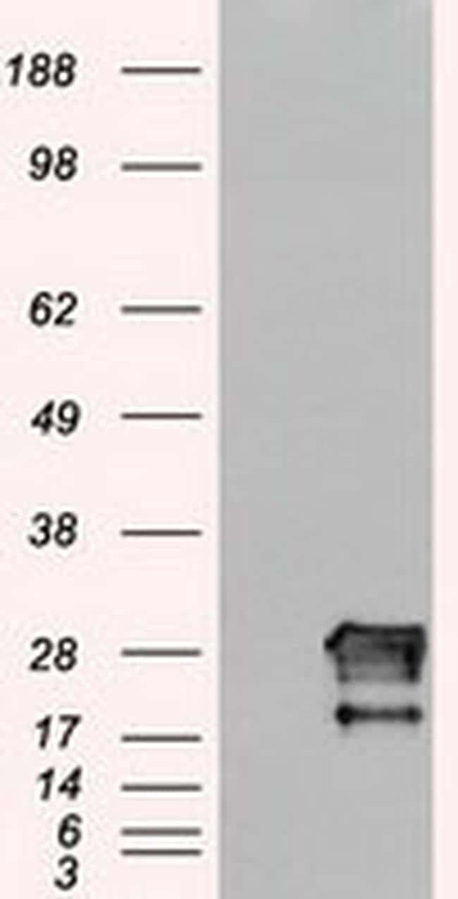 Neurogenin 1 Antibody in Western Blot (WB)