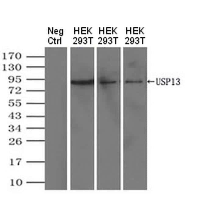USP13 Antibody in Western Blot (WB)
