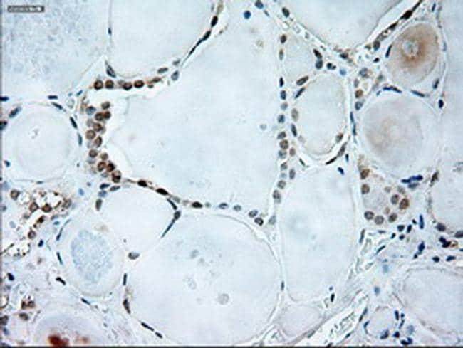 GAD67 Antibody in Immunohistochemistry (Paraffin) (IHC (P))