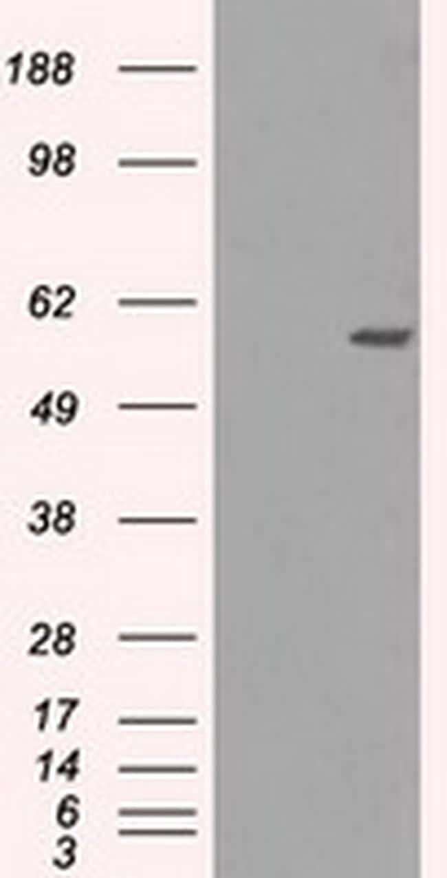 NRBP Antibody in Western Blot (WB)