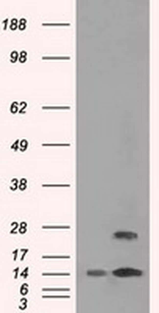 TMEM100 Antibody in Western Blot (WB)