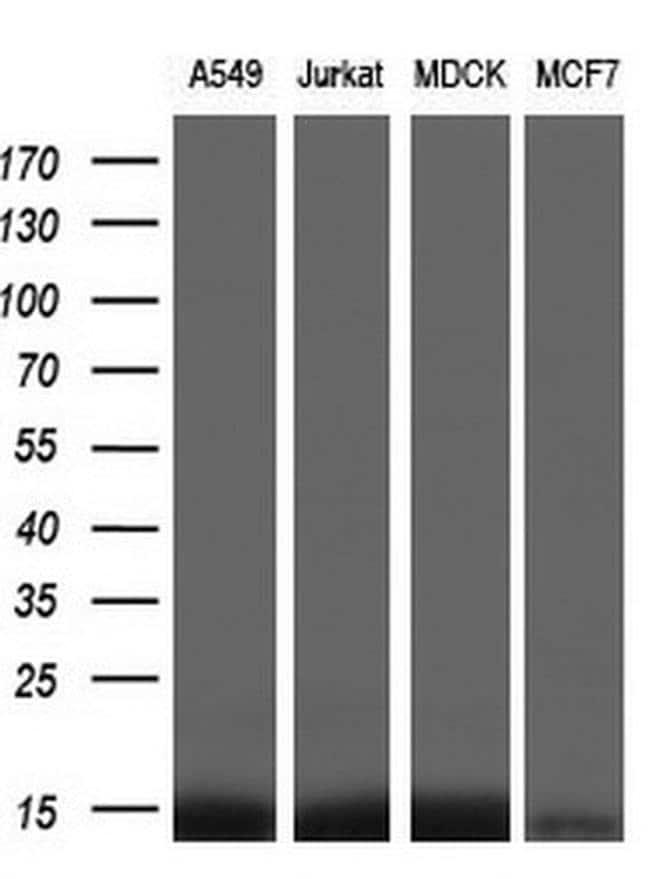 FKBP12 Antibody in Western Blot (WB)