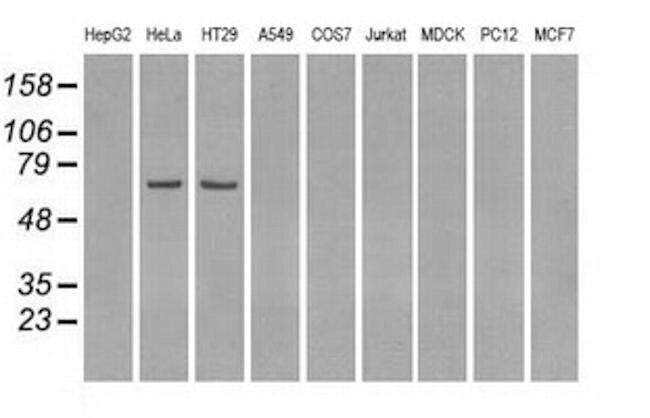 LTA4H Antibody in Western Blot (WB)