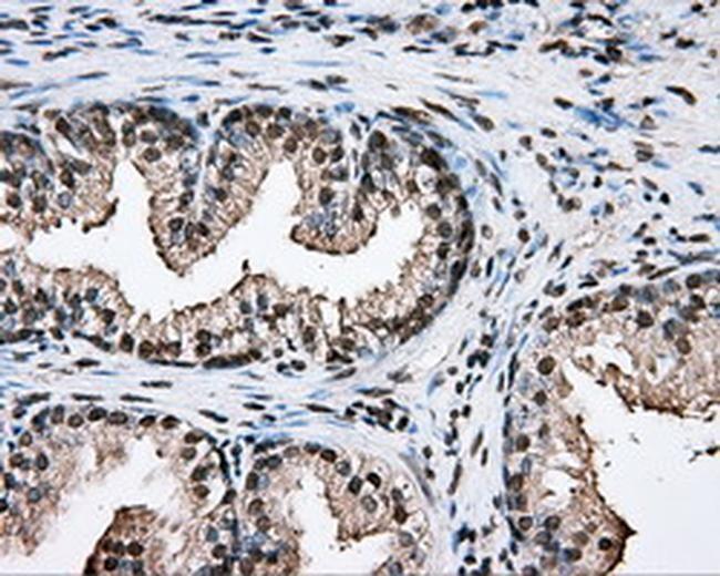 PTPRE Antibody in Immunohistochemistry (Paraffin) (IHC (P))