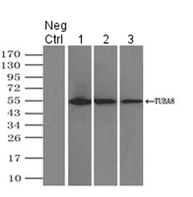TUBA8 Antibody in Immunoprecipitation (IP)