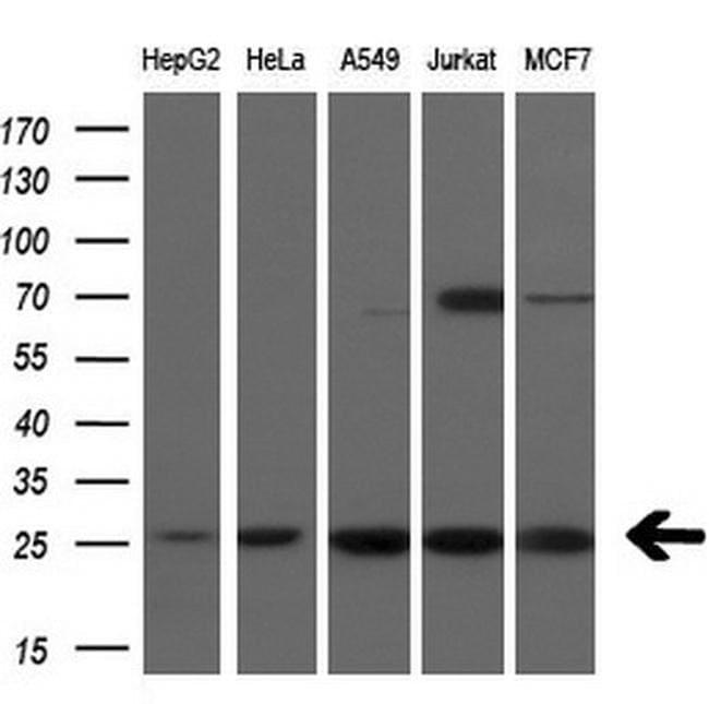 FADD Antibody in Western Blot (WB)