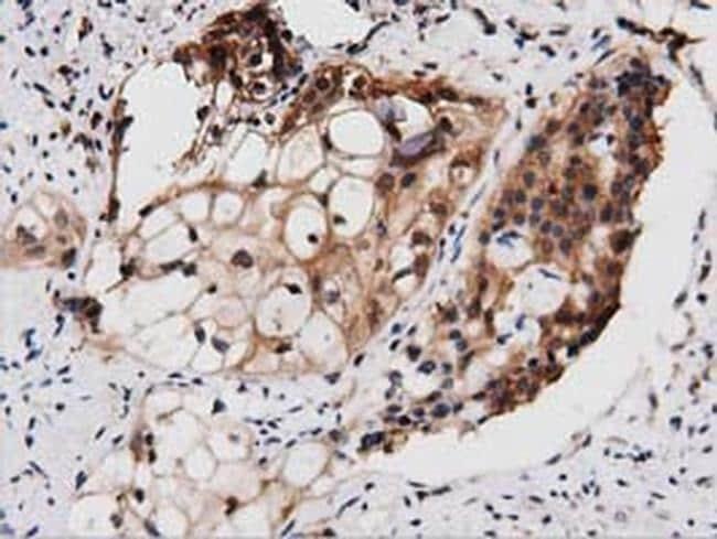 PEPD Antibody in Immunohistochemistry (Paraffin) (IHC (P))