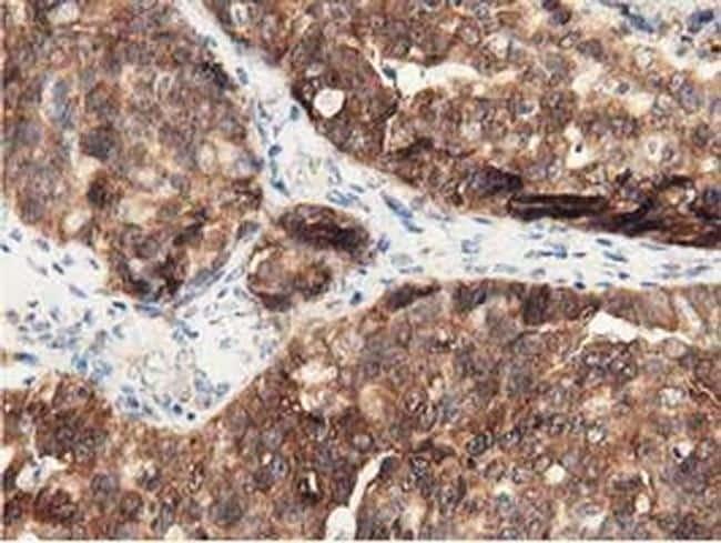 DNAJA2 Antibody in Immunohistochemistry (Paraffin) (IHC (P))