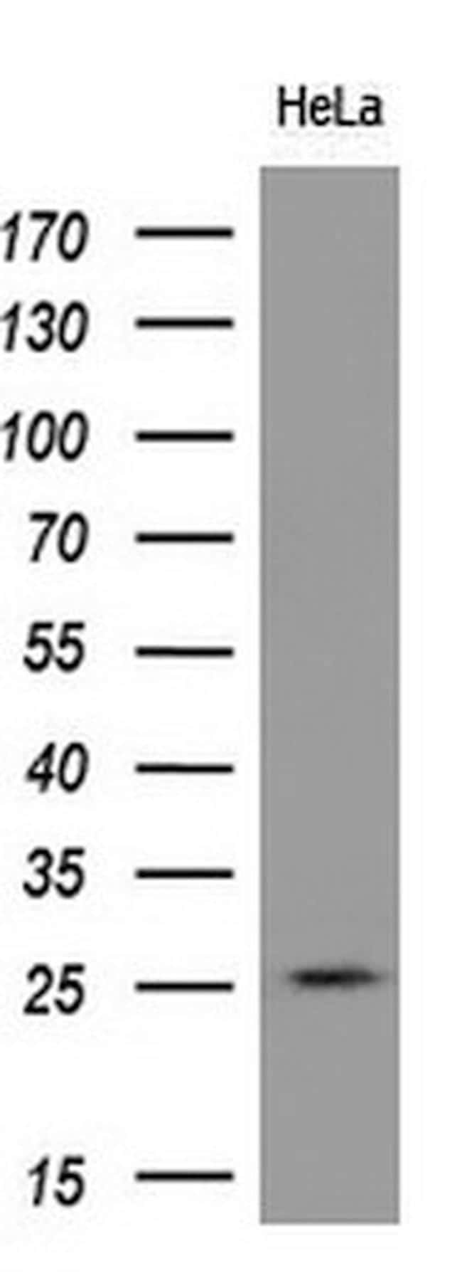 RND1 Antibody in Western Blot (WB)