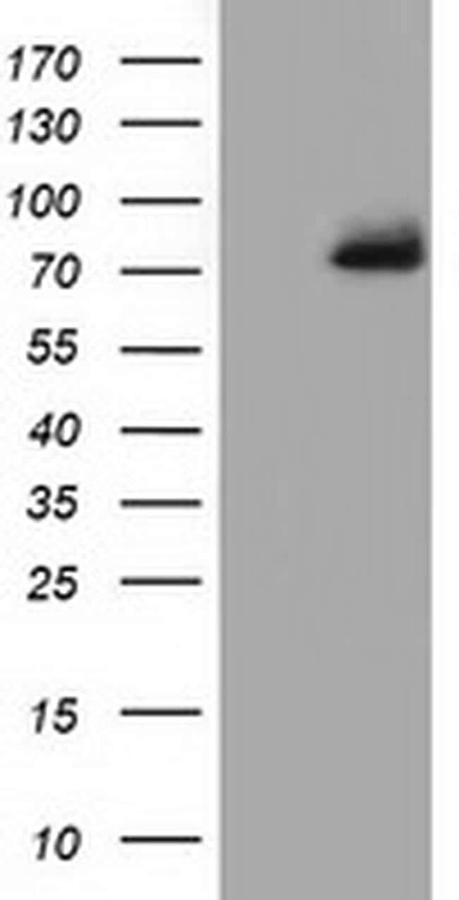 PPWD1 Antibody in Western Blot (WB)