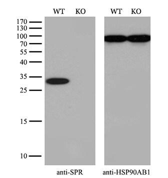 SPR Antibody in Knockout