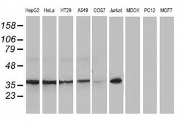 XLF Antibody in Western Blot (WB)
