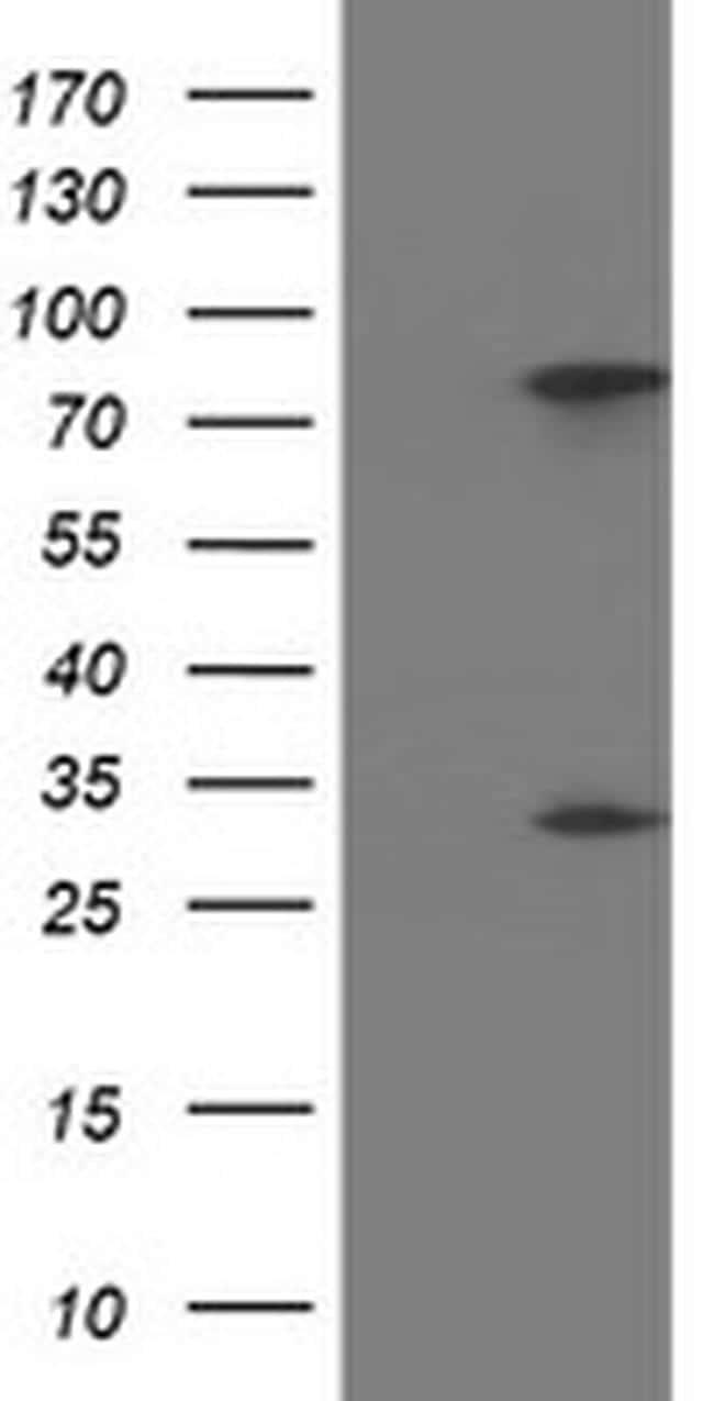 PYCRL Antibody in Western Blot (WB)