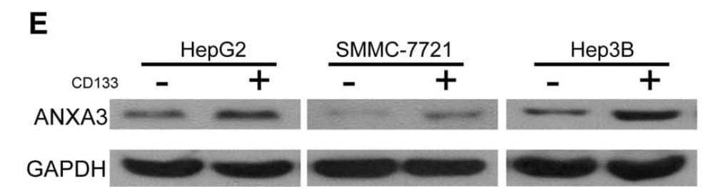 Annexin A3 Antibody in Western Blot (WB)