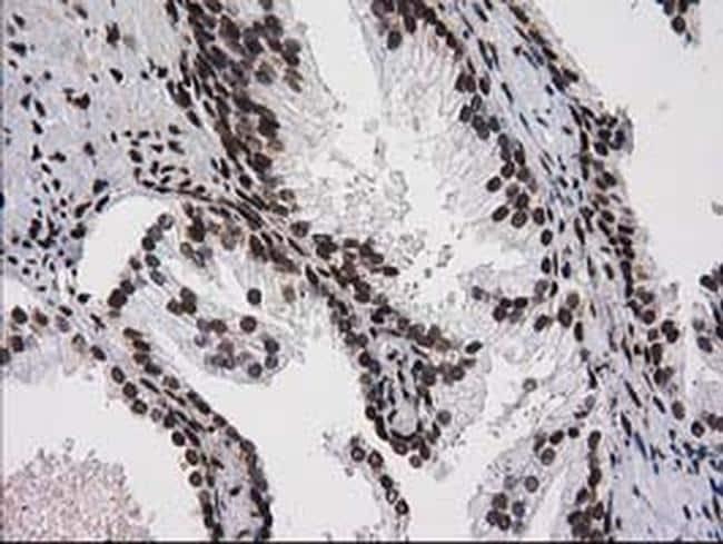ATP6V1F Antibody in Immunohistochemistry (Paraffin) (IHC (P))