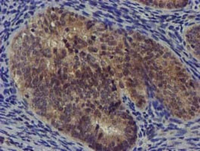 DCLRE1B Antibody in Immunohistochemistry (Paraffin) (IHC (P))