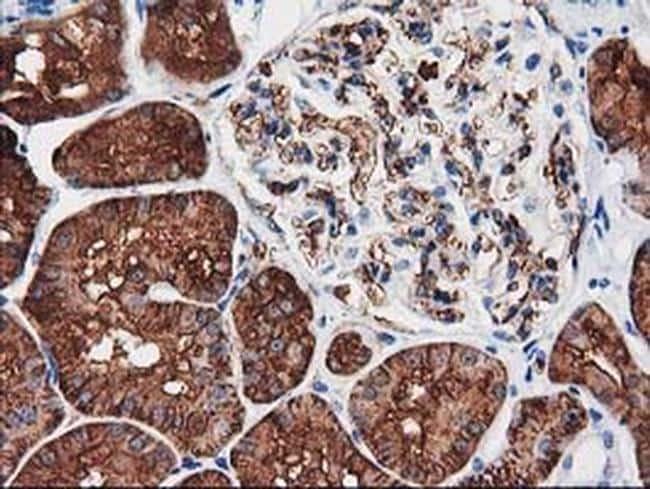 Aquaporin 1 Antibody in Immunohistochemistry (Paraffin) (IHC (P))
