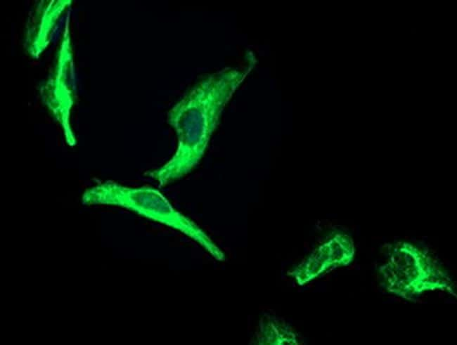 OSGEP Antibody in Immunocytochemistry (ICC)