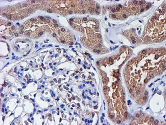 SMS Antibody in Immunohistochemistry (Paraffin) (IHC (P))