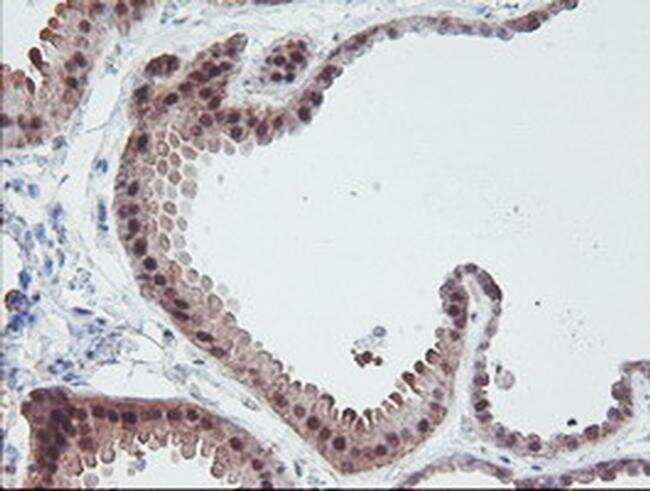 IRF6 Antibody in Immunohistochemistry (Paraffin) (IHC (P))