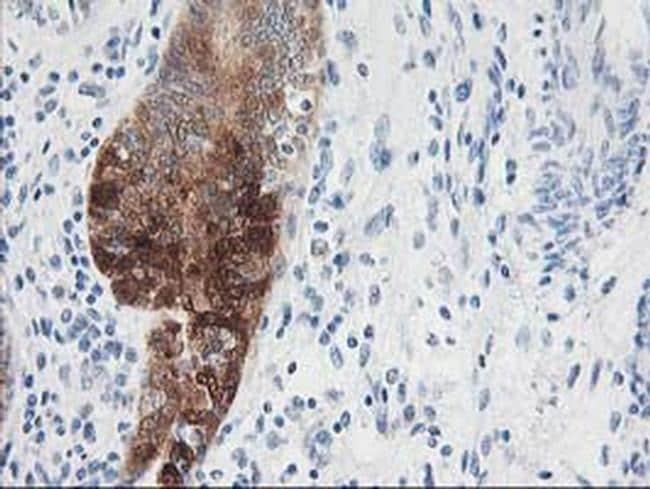 Nudel Antibody in Immunohistochemistry (Paraffin) (IHC (P))