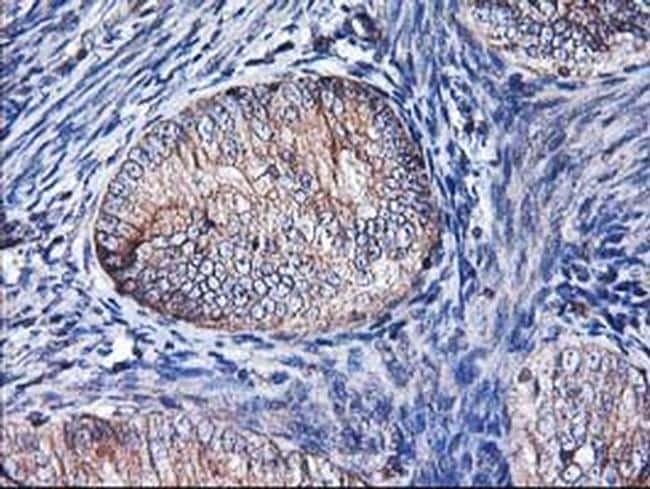 Heme oxygenase 2 Antibody in Immunohistochemistry (Paraffin) (IHC (P))