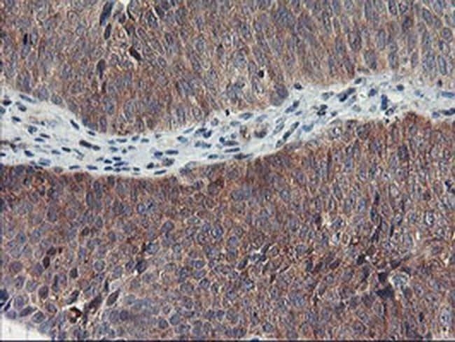 TULP3 Antibody in Immunohistochemistry (Paraffin) (IHC (P))