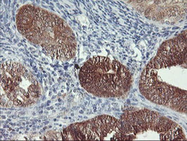 NLN Antibody in Immunohistochemistry (Paraffin) (IHC (P))