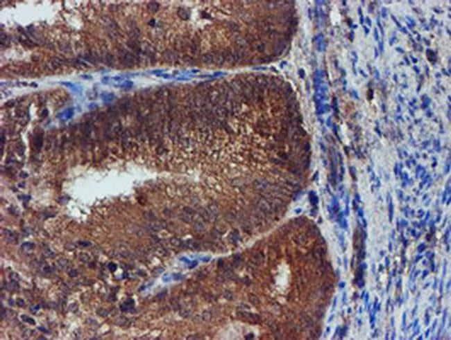 Iduronate 2 Sulfatase Antibody in Immunohistochemistry (Paraffin) (IHC (P))
