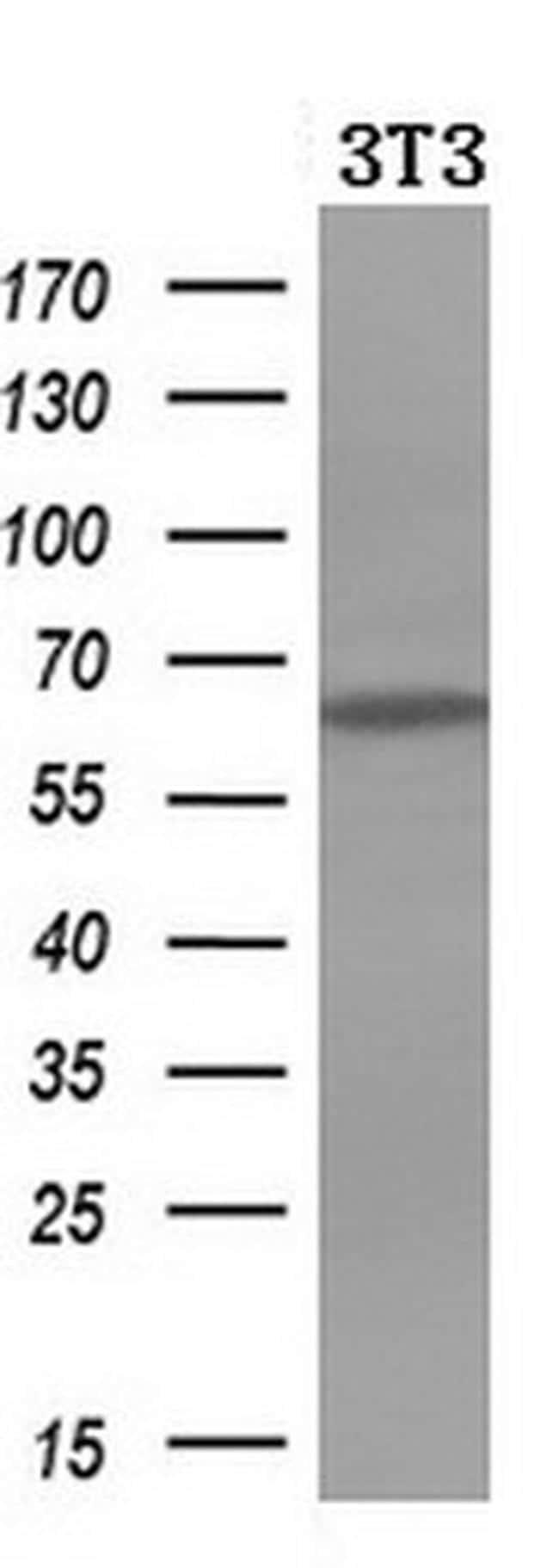 Iduronate 2 Sulfatase Antibody in Western Blot (WB)