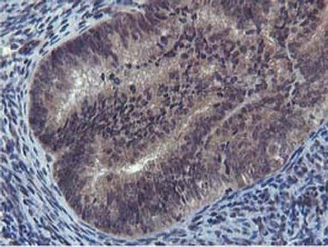 Cystatin 2 Antibody in Immunohistochemistry (Paraffin) (IHC (P))