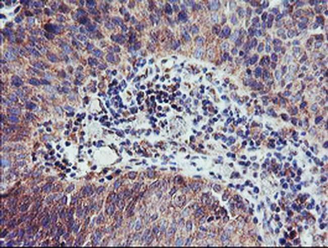 CAMLG Antibody in Immunohistochemistry (Paraffin) (IHC (P))