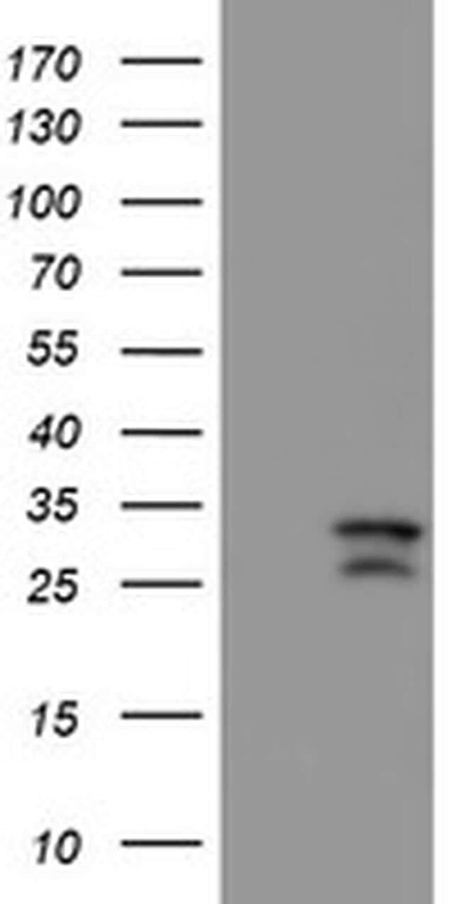 CAMLG Antibody in Western Blot (WB)