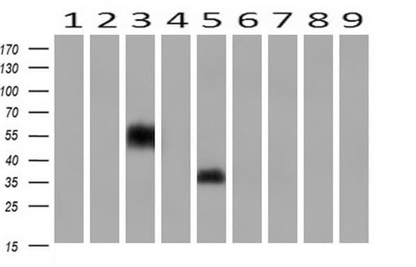 Neuroplastin Antibody in Western Blot (WB)
