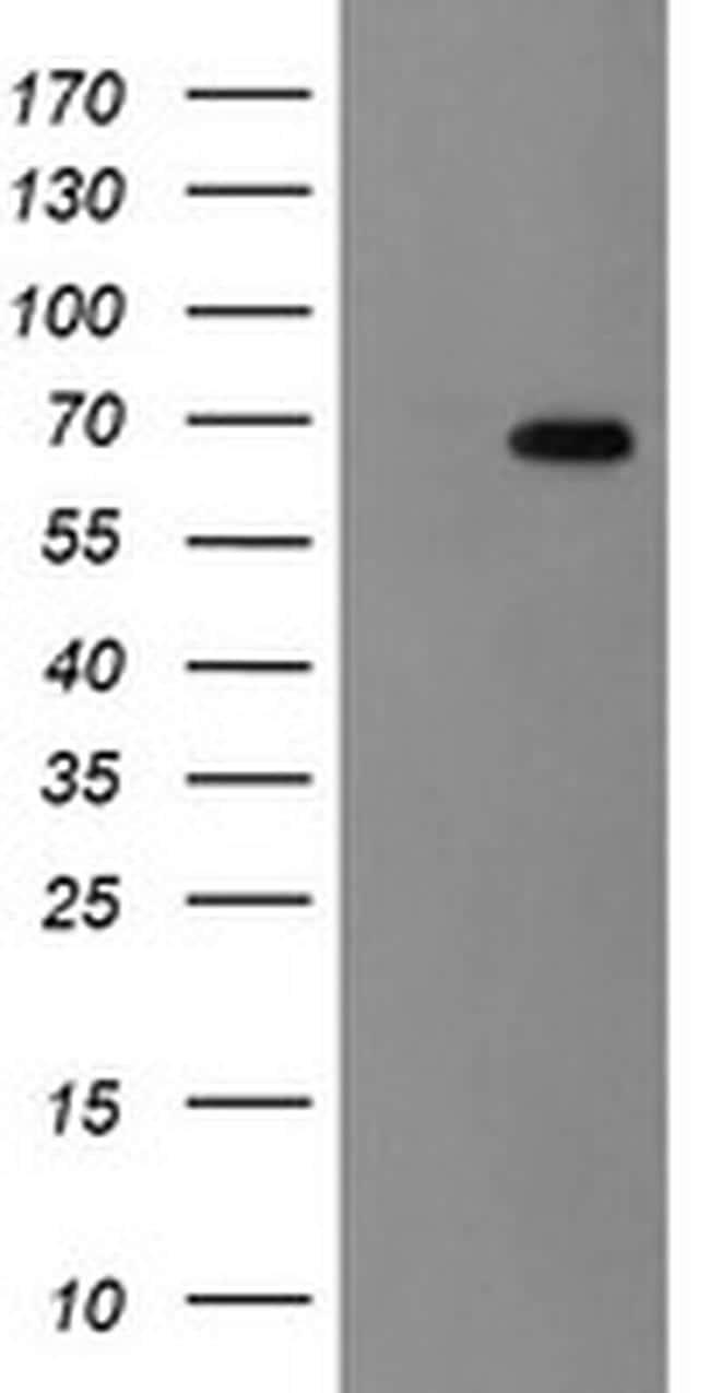 ACBD3 Antibody in Western Blot (WB)