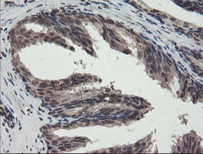 TDO2 Antibody in Immunohistochemistry (Paraffin) (IHC (P))
