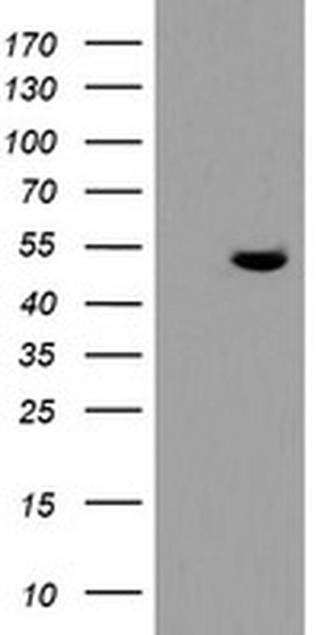 TDO2 Antibody in Western Blot (WB)