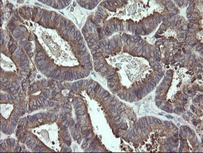ERp57 Antibody in Immunohistochemistry (Paraffin) (IHC (P))