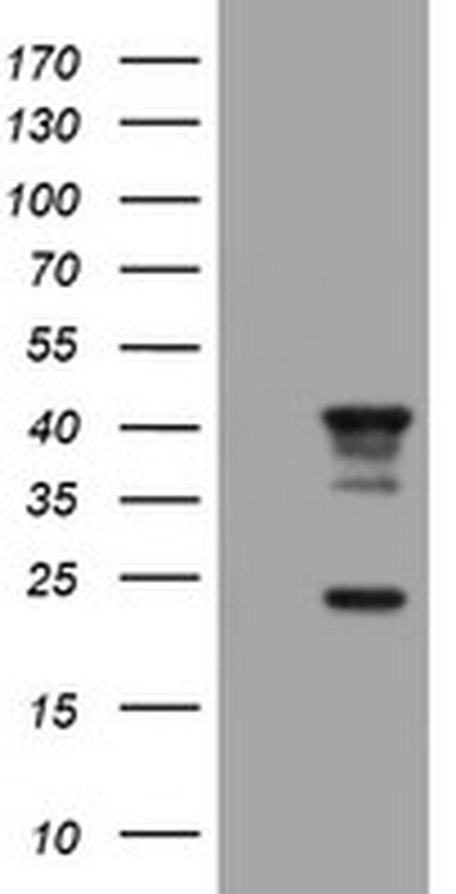 STING Antibody in Western Blot (WB)