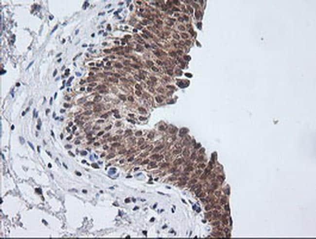 ETS2 Antibody in Immunohistochemistry (Paraffin) (IHC (P))